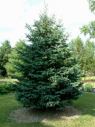 Black Hills spruce (Containerized)