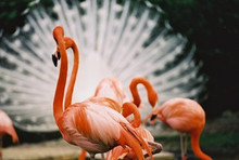 """Flamingos in Florida"" Photographic Quality Dye Sublimation on Aluminum"