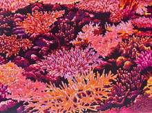 100% Cotton - Dark Pinks Corals