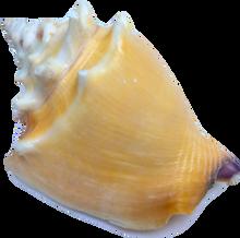 Strombus Pugilis (Fighting Conch)