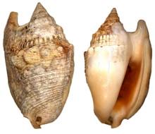 Strombus Aurisdianae
