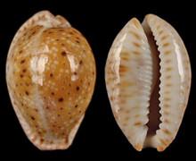 Cypraea Oscellata - 5/Bag