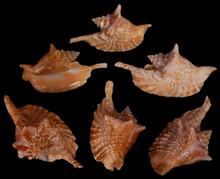 Strombus Gallus - Rooster Conch