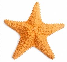 """Starfish - Caribbean Starfish 6"""""""