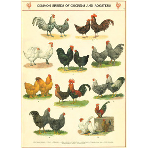 Common Breeds of Chickens and Roosters