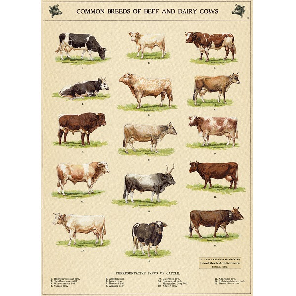 Common Breeds of Beef and Dairy Cows