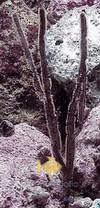 Purple Ribbon Gorgonia - Gorgonia species - Sea Rod - Sea Whip - Sea Blade