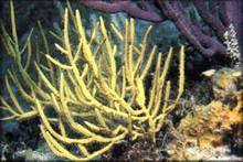 Yellow Brush Gorgonia - Gorgonia species - Sea Rod - Sea Whip - Sea Blade