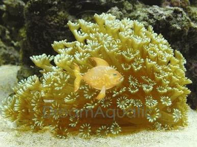 Alveopora Coral - Alveopora species - Daisy Flowerpot Coral
