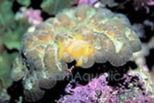Lobophyllia Brain Coral - Assorted Color - Lobophyllia species - Open Brain - Carpet Brain Coral - Flat Brain Coral - Flower Coral