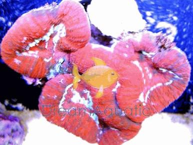 Lobophyllia Brain Coral - RED - Lobophyllia species - Open Brain - Carpet Brain Coral - Flat Brain Coral - Flower Coral