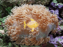 Elegance Coral - Catalaphyllia species - Elegant Coral