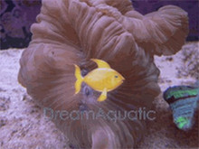 Fox Coral - Nemanzophyllia turbida - Ridge Coral - Ruffled Coral - Jasmine Coral