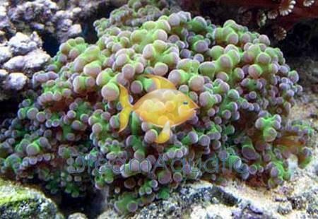 frogspawn assorted branching euphyllia divisa honey coral wall