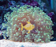 Frogspawn Green Branching - Euphyllia divisa - Honey Coral Wall - Frogspawn Coral - Grape Coral - Octopus Coral