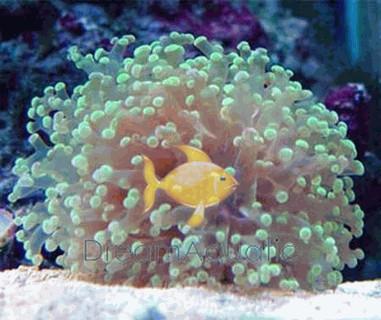 Frogspawn Green Branching - Euphyllia divisa - Honey Coral Wall - Frogspawn Coral - Grape Coral - Octopus Coral