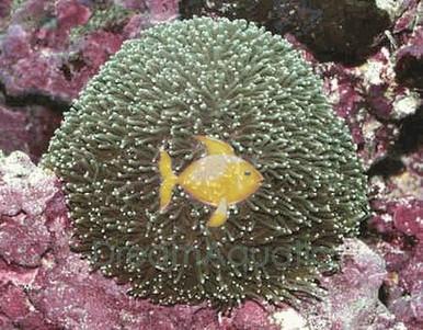 Galaxy Coral - Galaxea species - Tooth Coral - Crystal Coral - Galaxy Coral - Moon Coral - Star Coral