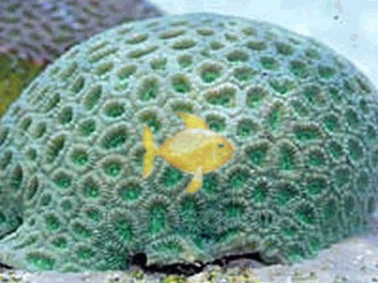 Moonstone Coral Green Favia Brain Favia Species Brain Coral