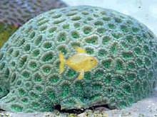Moonstone Coral - Green Favia Brain - Favia species - Brain Coral Closed Green Moonstone - Modern Coral - Moon Coral