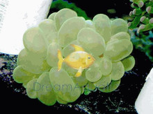 Pearl Coral (Green) - Physogyra species - Pearl Coral - Pearl Grape Coral - Pearl Octobubble Coral - Pearleye