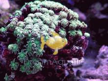 Pipe Organ Coral - Tubipora musica - Organ Pipe Coral
