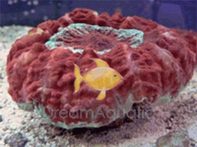 Scolymia Brain Coral - Scolymia species - Button Scolymia Coral - Green Scolymia Brain - Artichoke Coral - Donut Coral