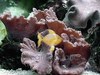 Cabbage Leather (Flower Leather) - Sinularia dura - Cabbage Leather Coral - Carpet Coral - Flat Leather Coral - Flower Leather Coral
