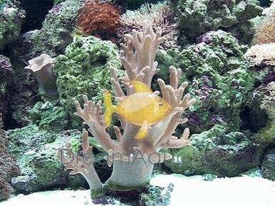 Finger Leather (soft) - Lobophytum species - Sinularia Finger Thick - Finger Leather Coral - Devil's Hand Coral