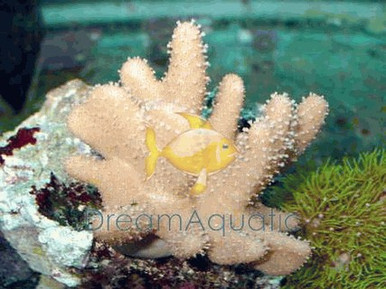 Hairy Leather (hard) - Paralemnalia species - Tree Soft Coral - Green Hairy Leather - Finger Leather Coral - Hairy Finger Leather Coral