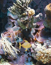 Assorted Mushrooms - Actinodiscus species - Disc Anemones - Flower Corals - Mushroom Anemones