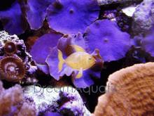 Blue Mushrooms - Actinodiscus species - Disc Anemones - Flower Corals - Mushroom Anemones - Actinodiscus Mushroom Coral