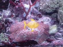Bullseye Mushrooms - Discosoma species - Disc Anemones - Flower Corals - Mushroom Anemones