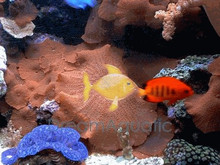 Red Mushrooms - Actinodiscus species - Disc Anemones - Flower Corals - Mushroom Anemones
