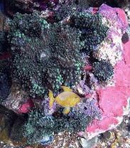 Blue / Green Ricordea Mushrooms - Ricordea yuma - Ricordea Mushroom Coral