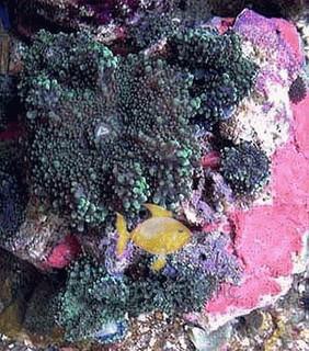 Green Ricordea Mushrooms - Ricordea yuma - Ricordea Mushroom Coral