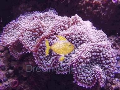 Red / Pink Ricordea Mushrooms - Ricordea yuma - Ricordea Mushroom Coral