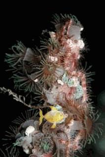 Tree Stick Polyps - Acrozoanthus species - Encrusting Stick Anemones - Stick Polyps <font color=cc0033> Price Per Polyps</font>