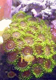 Zoanthid Mushroom - Assorted Color Button Polyp - Zoanthus species - Colonial Polyp - Gold Zoanthid - Sea Mats - Moon Polyps - Encrusting Anemones
