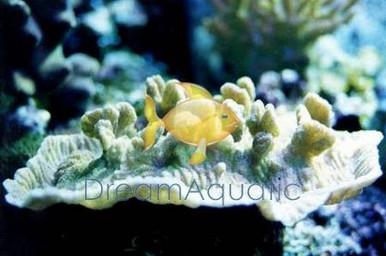 Merulina Coral - Merulina species - Lettuce Coral - Cabbage Coral