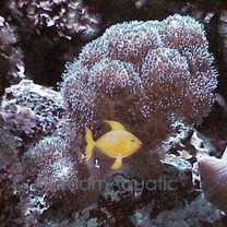 Pocillopora Coral - Pocillopora species - Cauliflower Coral - Brush Coral - Clustered Coral - Lace Coral - Warty Coral