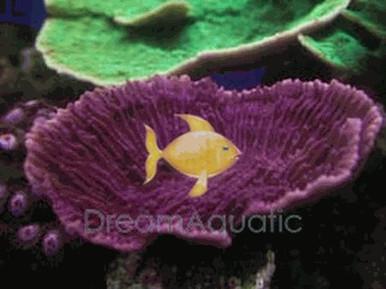 Velvet Coral - Assorted Color - Montipora species - Montipora Plate Coral - Velvet Finger Coral