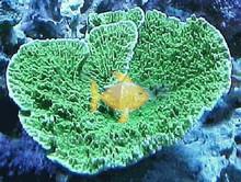Velvet Coral - Green - Montipora species - Montipora Plate Coral - Velvet Finger Coral