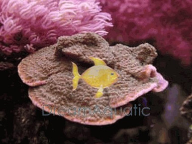 Velvet Coral - Orange - Montipora species - Montipora Plate Coral - Velvet Finger Coral