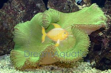 Carpet Anemone - Green - Stichodactyla haddoni - Giant Anemone - Giant Carpet Anemone