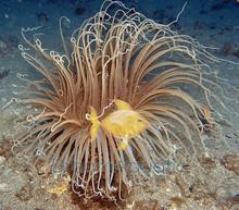Tube Anemone - Ceranthus membranaceus - Cerianthus Anemone