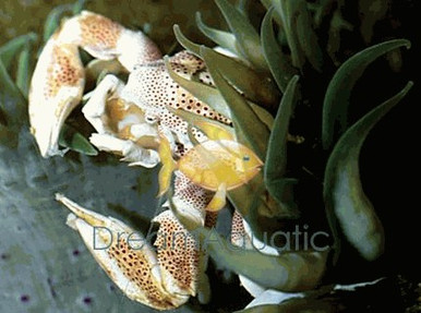 Anemone Crab - Neopetrolisthes ohshimai - Porcelain Anemone Crab