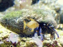 Blue Leg Hermit Crab - Phimochirus operculatus - Dwarf Blue Leg Hermit - Blue Hermit - Rock Hermit