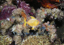 Decorator Crab - Stenorhynchus species
