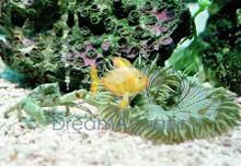 Emerald Mythrax Crab - Mithrax sculptus - Emerald Crab