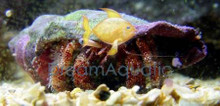Hermit Crab - Assorted Crab - Dardanus megistos - Red Hermit